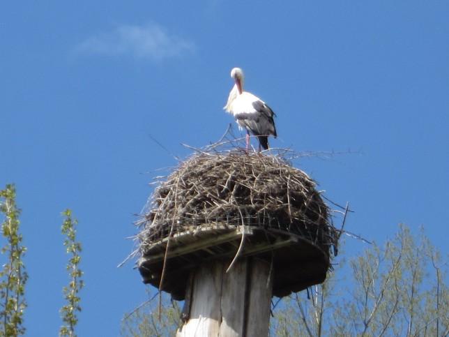 Storch bei Rheinhausen (Bild: Klaus Dapp)