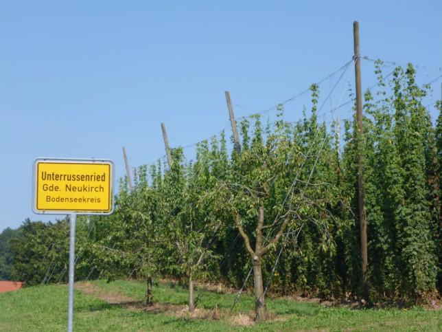 Hopfenanbau im Hopfengebiet Tettnang (Bild: Klaus Dapp)