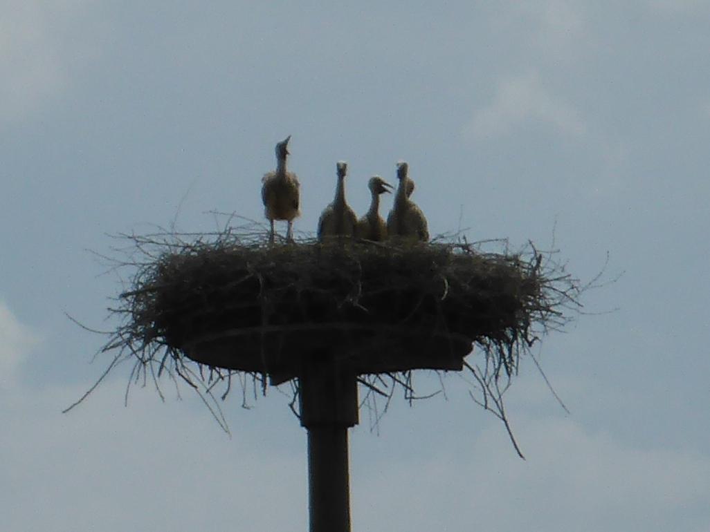 Storchenkinder bei Griesheim (Bild: Klaus Dapp)