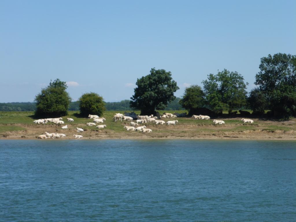 Charolais-Rinder an anderen Ufer der Sâone (Bild: Klaus Dapp)
